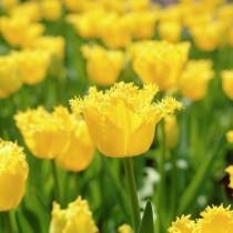 Поздний бахромчатый тюльпан «Hamilton»