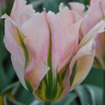 Поздний зеленоцветковый тюльпан «China Town»