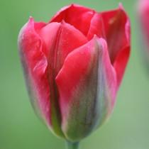 Поздний зеленоцветковый тюльпан «Red Springgreen»