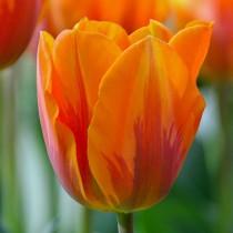 Поздний тюльпан группы Рембрант «Princess Irene»