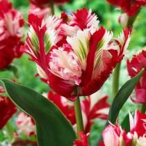 Поздний попугайный тюльпан «Estella Rijnveld»