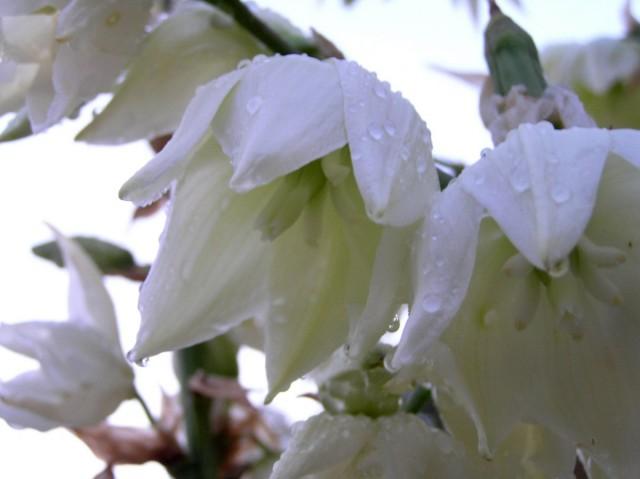 Цветы юкки