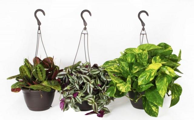 Покупая новое комнатное растение, поинтересуйтесь - насколько оно капризно?