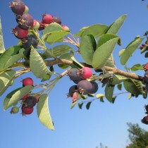 Ирга колосистая (Amelanchier x spicata)