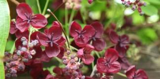 Акебия пятерная (Akebia quinata)