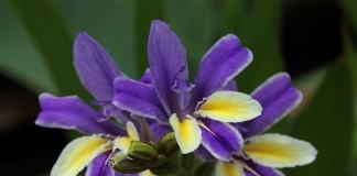 В регионах с суровыми зимами бабиана успешно выращивается в комнатах