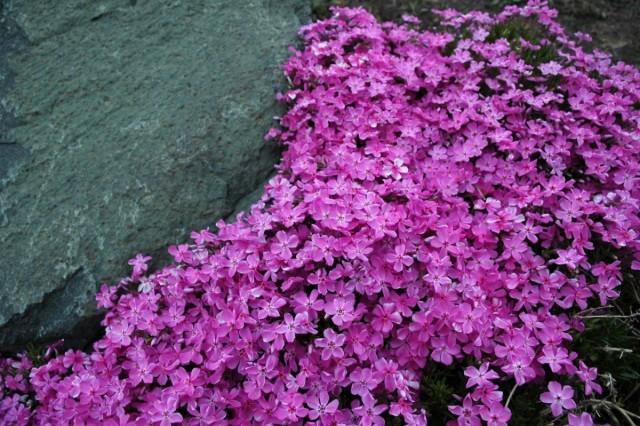 Флокс шиловидный - идеальное растение для рокариев и альпинариев