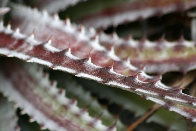 Листья гехтий могут иметь разнообразную окраску