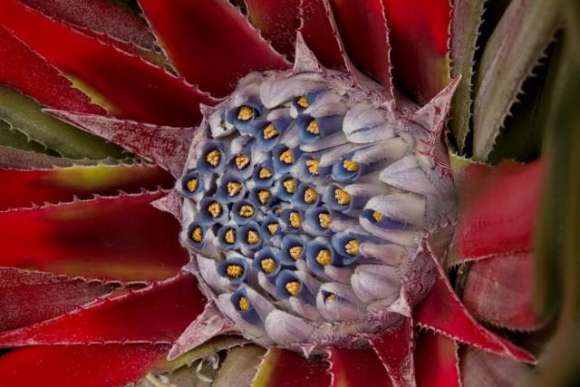 Гехтия - похожее и на злаки, и на суккуленты бромелиевое комнатное растение