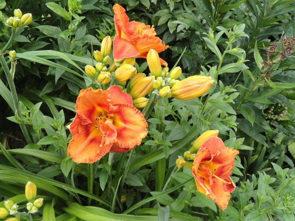 hemerocallis-awesome-luck