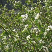 Ирга ольхолистная (Amelanchier alnifolia)