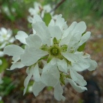 Ирга обильноцветущая (Amelanchier florida)