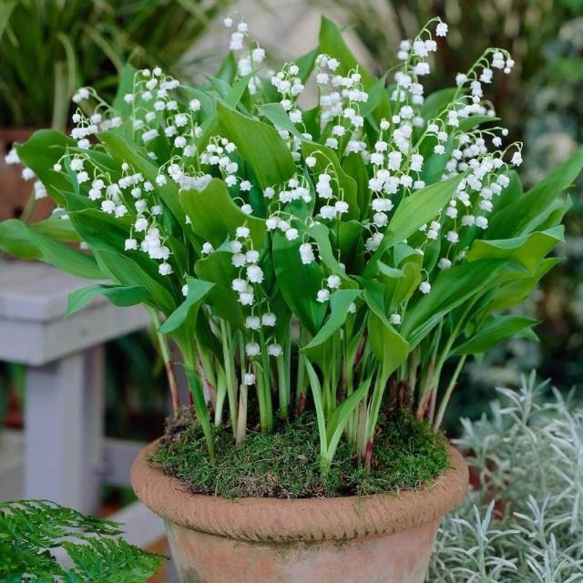 Комнатные ландыши, как и садовые, цветут очень обильно, но не продолжительно