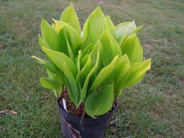 Вырастить комнатные ландыши можно, используя садовые растения