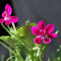 Лаперузия смолевковидная (Lapeirousia silenoides)