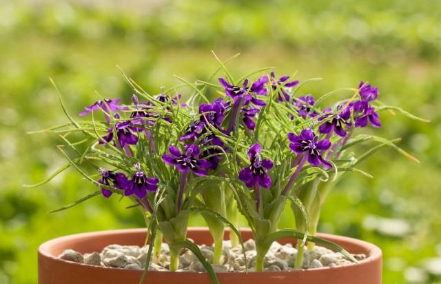 Лаперузия своим цветением чем-то напоминает ирисы, а чем-то фрезии