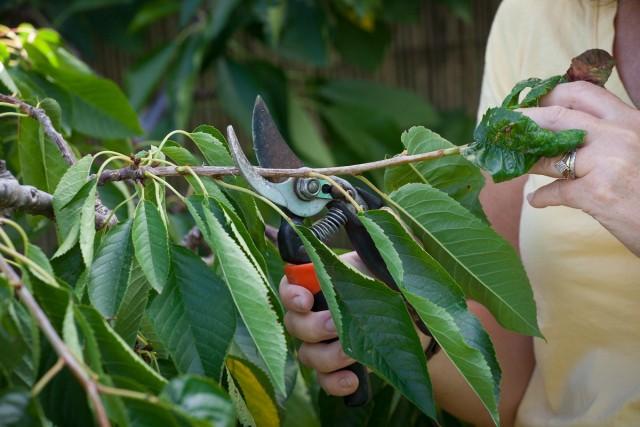 Метод прищипки при летней обрезке