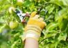 Летняя обрезка, чаще всего, направлена на формирование молодых деревьев