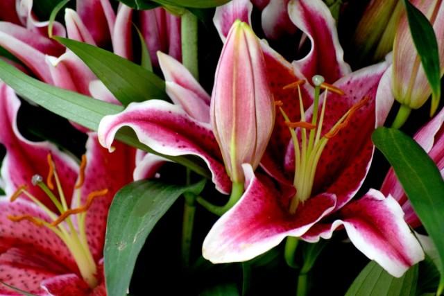 Лилии - цветы с королевскими цветками и характером