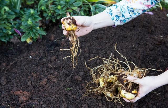 Дистанция между луковицами лилий при посадке зависит от потенциальной высоты растения