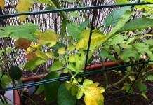 Причин пожелтения листьев томата может быть несколько