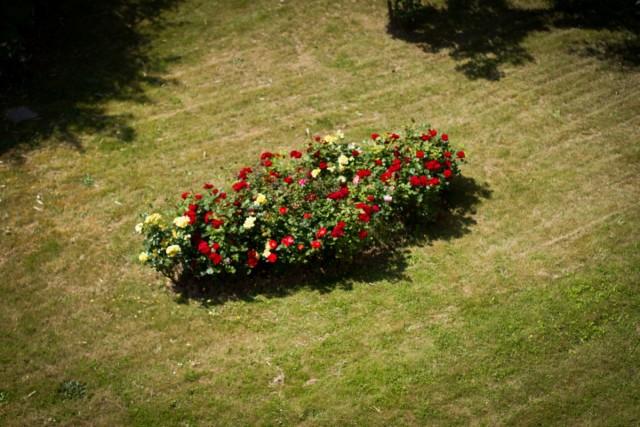Розы на одиночных моноцветниках лучше высаживать группами, а не по одиночке