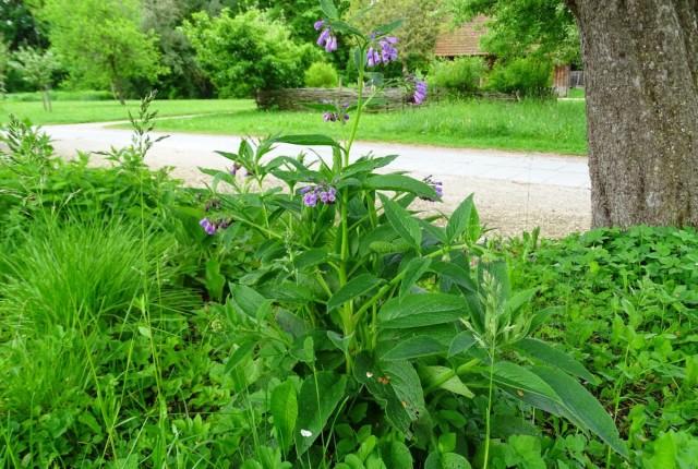 Окопники постоянно агрессивно разрастаются и могут вытеснить другие растения