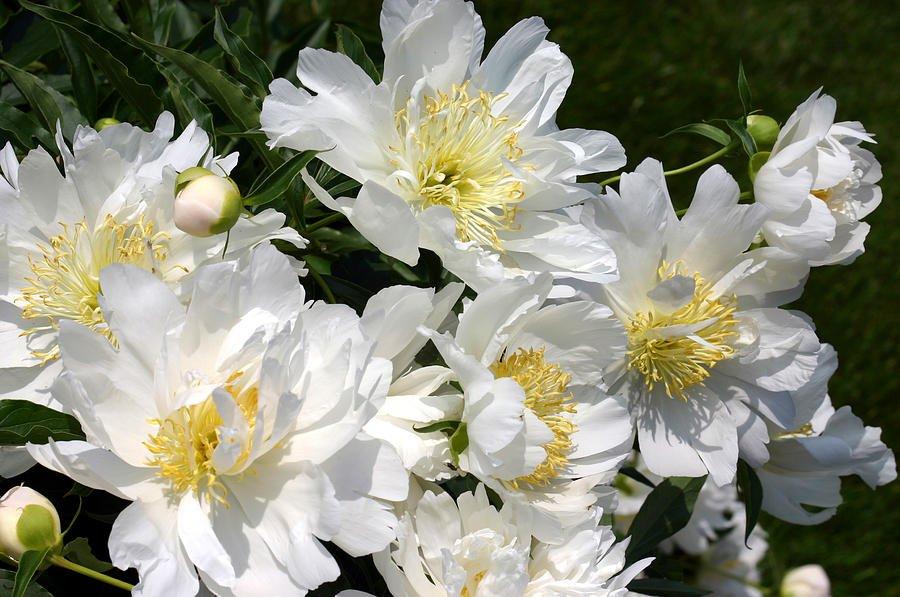 paeonia-lotus-queen-1