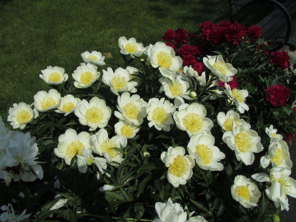 paeonia-lotus-queen-2