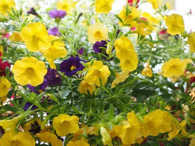 Петунии с жёлтыми цветками