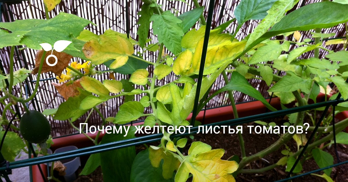 Почему желтеют листья у помидоров и что с этим делать