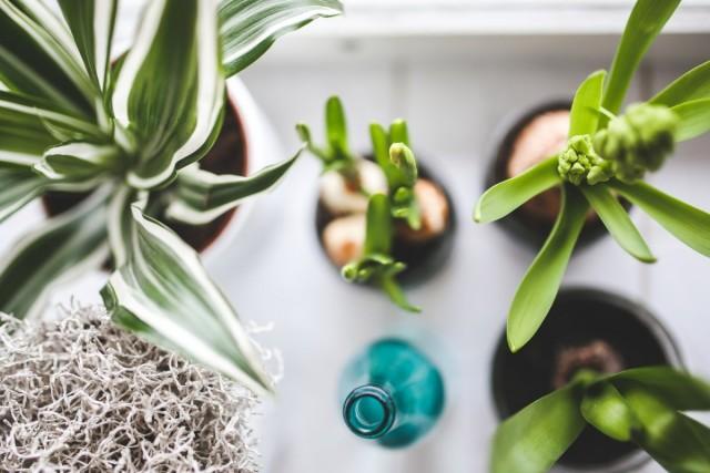 Для луковичных комнатных культур очень важно помнить об индивидуальном подходе