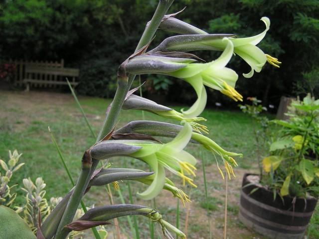 Пуйя удивительная (Puya mirabilis)