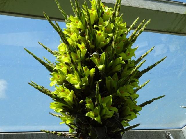 Пуйя чилийская (Puya chilensis)