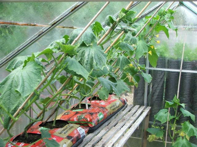 Выращивая в отдельной теплице огурцы только одного сорта и опыляя их вручную, есть шанс сохрвнить все признаки сорта у семян