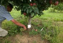 Яблоню можно размножить корневыми черенками и отводками