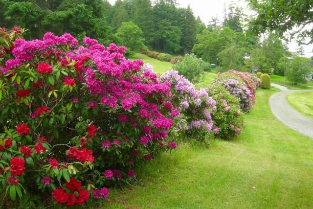 Цветник из рододендронов - шанс реализовать мечту о коллекции этих растений