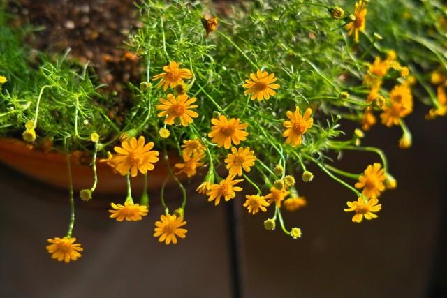 Тимофилла золотисто-желтая, или узколопастная (Thymophylla tenuiloba)