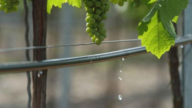 Капельный полив при выращивании винограда