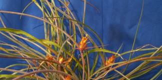 Акантостахис — неприхотливый эпифит из бромелиевых