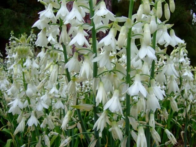 Период цветения гальтоний традиционно приходится на август и сентябрь