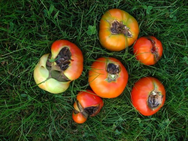 Фитофтора - основная причина гниения плодов томатов открытого грунта