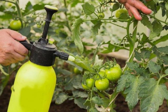 Обработка томатов против фитофторы