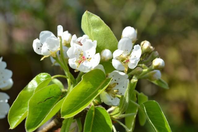 Груша может цвести, но не плодоносить из-за плохого опыления
