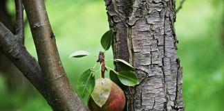 Причин, почему не плодоносит груша, может быть несколько