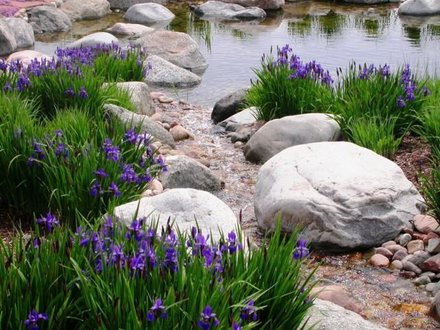 Многие ирисы подходят для оформления не только различных водных объектов, но и мокрых клумб или природных фильтров