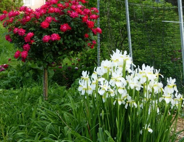 Считается, что самые эффектные пятна ирисов имеют место при сочетании как минимум 15 растений