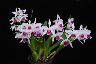 Лелия пурпурная (Laelia purpurata)