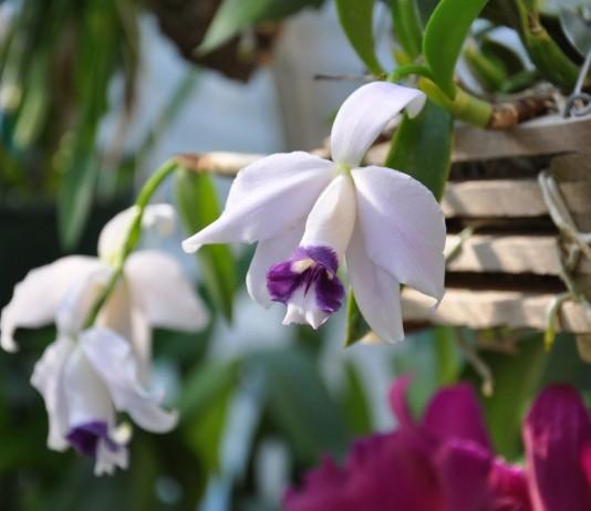 Лелия — самая деликатная среди орхидей