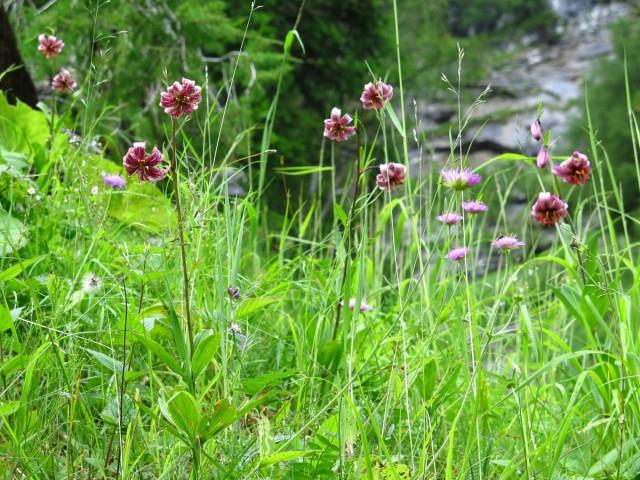 Мартагон-лилии - идеальные растения для садов природного стиля